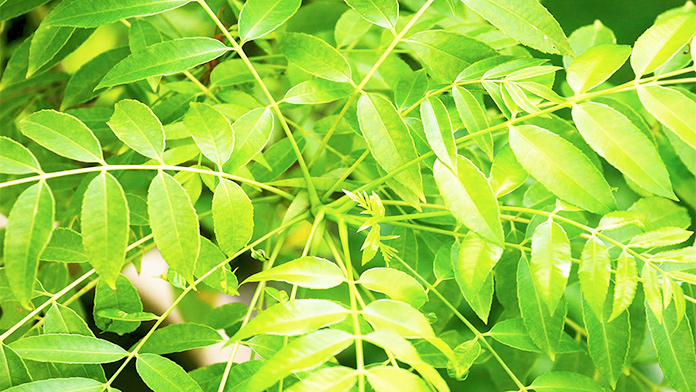 Curry leaves, how to control high blood pressure naturally