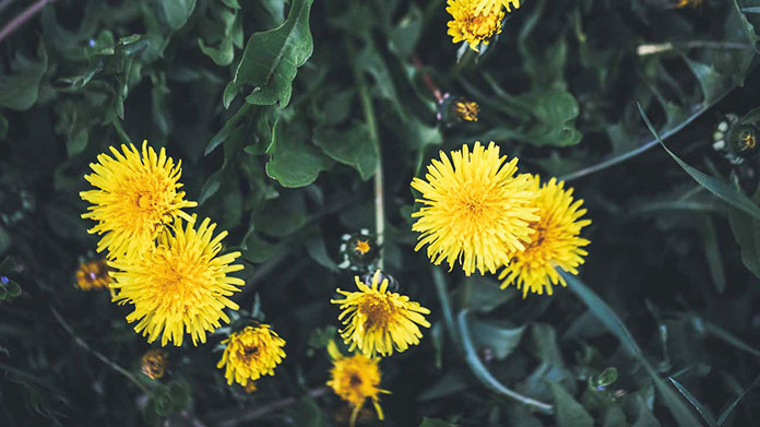 Dandelion Flower Recipes - Home Remedies Lower Back Pain
