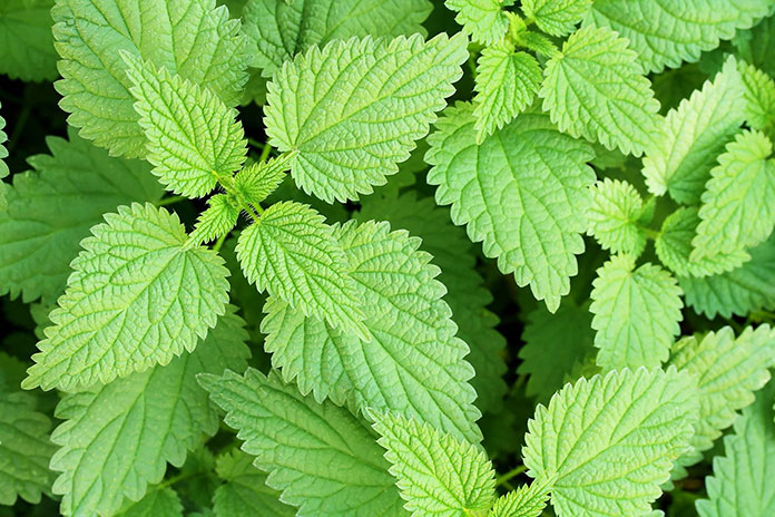 Nettle Leaf Recipe For Back Pain - Home Remedies Lower Back Pain