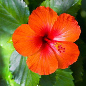 Hibiscus ,How To Stop Hair Loss And Regrow Hair Naturally