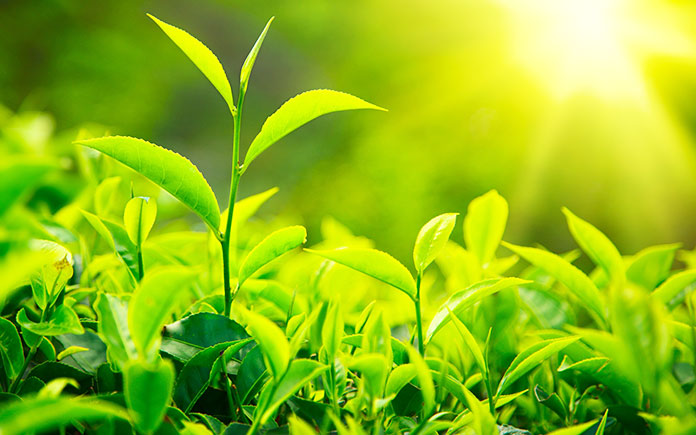 Harvest And Heating -Facts About Green Tea - What Is Green Tea