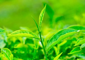 Tea History - 25 Tips What Is Green Tea - Facts About Green Tea