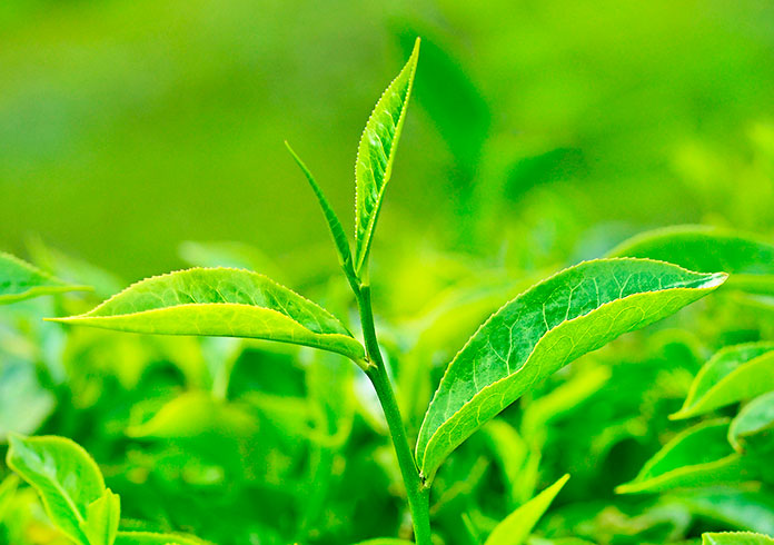 Tea History - 25 Evidence-based Benefits Of Green Tea : Facts About Green Tea