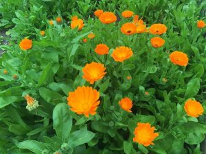 Marigold-calendula - Hallux Valgus Treatment