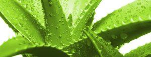Aloe Vera Juice For Skin - Unique Plant Aloe Vera: Medicinal Properties