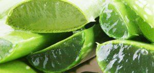 fresh aloe juice - Unique Plant Aloe Vera: Medicinal Properties