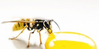 5 Best Use Of Essential Oils For Wasp Stings