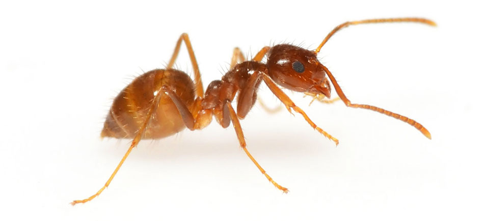 Ant - How To Get Rid Of Insect Bites