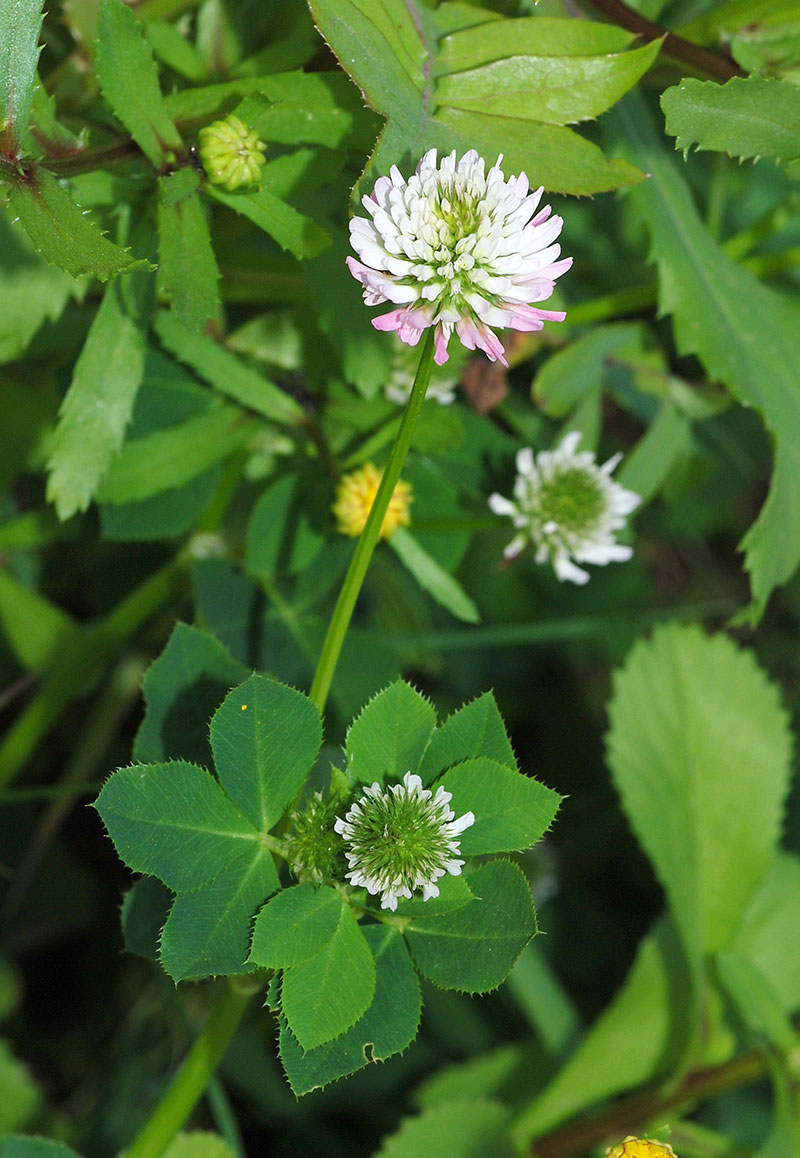 Clover Flowers - How To Stop Insomnia Naturally