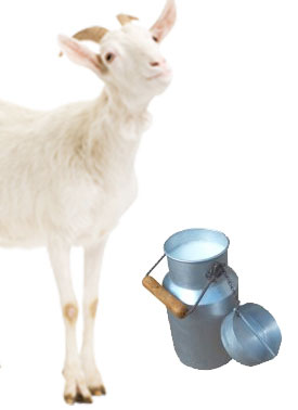 Goat's Milk - How To Stop Insomnia Naturally